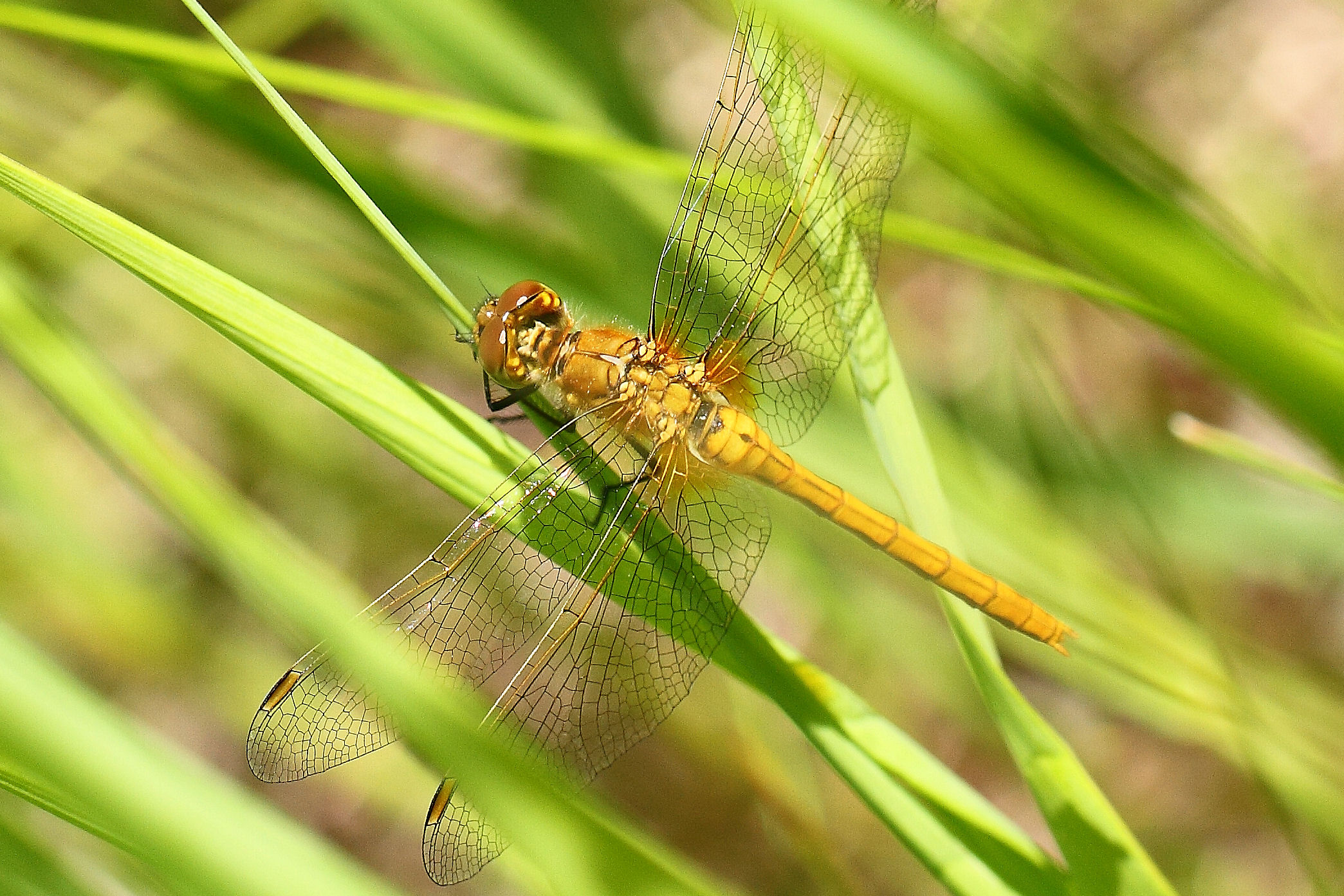 Yellow Meadowhawk2