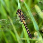 Black Meadowhawk2