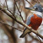 Ringed Kingfisher (male)