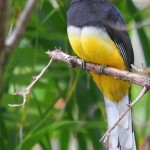Citrioline Trogon
