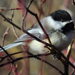 Black-Capped Chickadee1