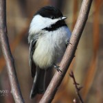 Black-Capped Chickadee2