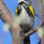 Yellow-Rumped Warbler (Myrtle) - male singing