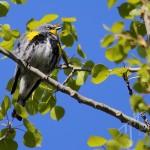 Audubon sub-species (note yellow under chin)
