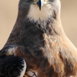 Swainson's Hawk - close-up
