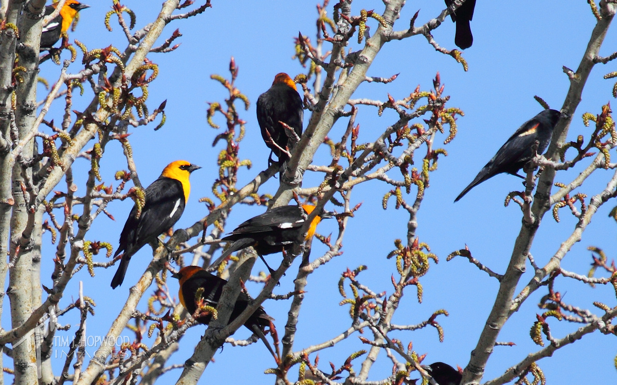 Mixed flock of Yellow-Headed and Red-Winged Blackbirds