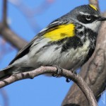 Yellow-Rumped Warbler (Myrtle) - male