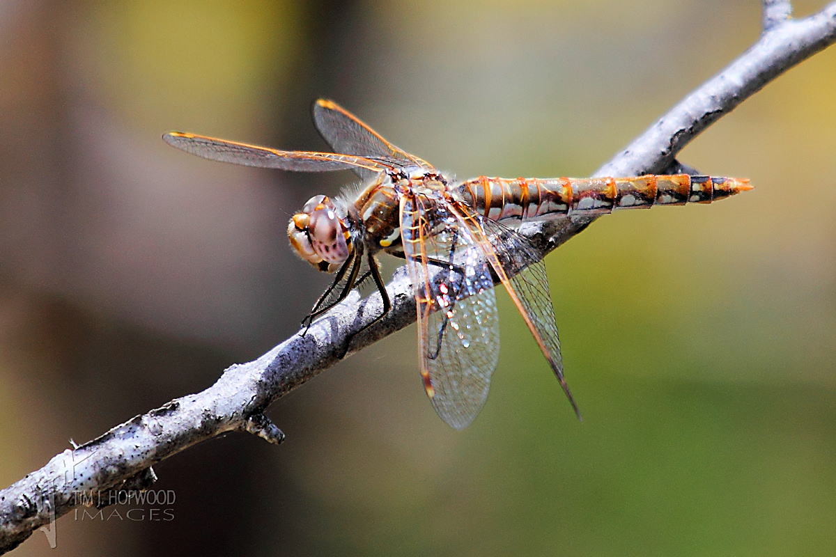 I believe this is a female Variegated Meadowhawk