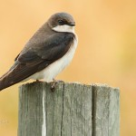 A pair of Tree Swallows greeted me at the gate.