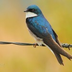 Tree Swallow (male)