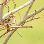 Clay-coloured Sparrow 2