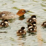There are three more ducklings out of shot...what a brood!