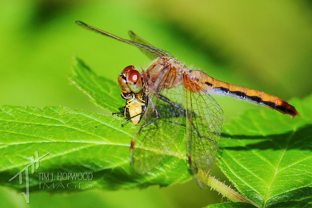 Black Meadowhawk with lunch