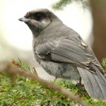 Immature Grey Jay