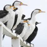 3 cormorant species