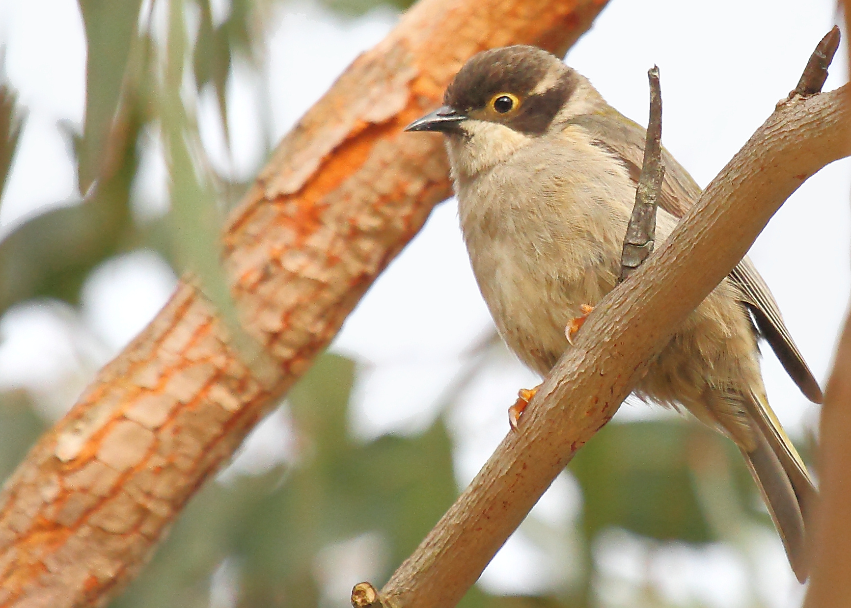 Brown-headed_Honeyeater