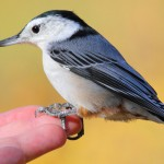White-breasted Nuthatch - very tame!
