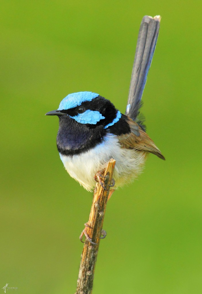 SuperbFairyWren