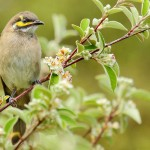 Yellow-faced_Honeyeater