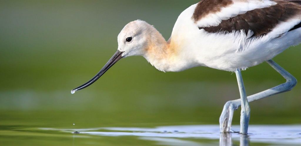American_Avocet-portrait-THopwood