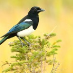 Black-billed_Magpie