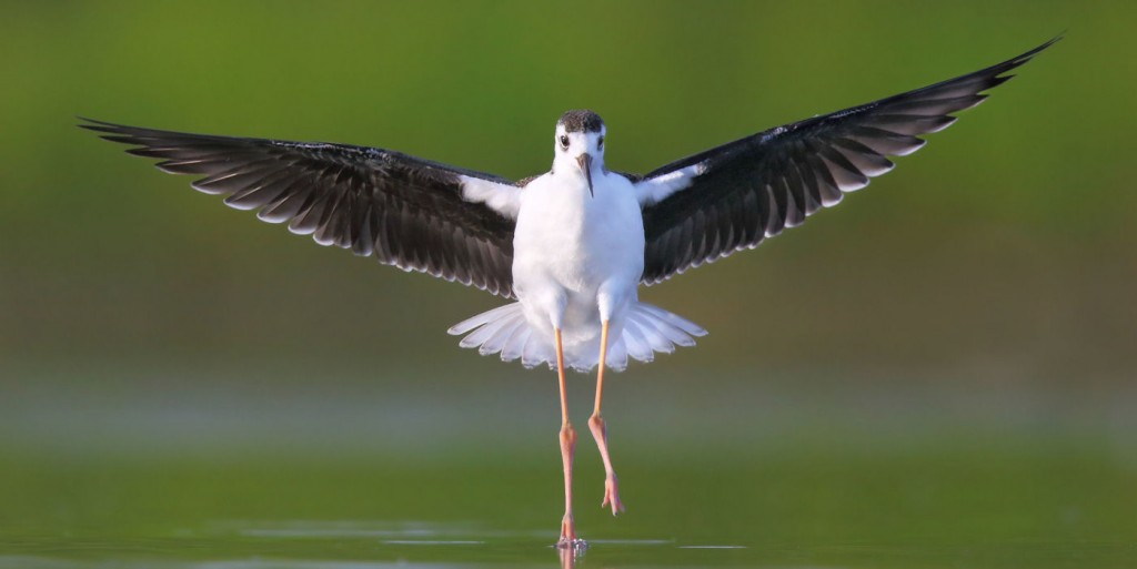 Black-necked_Stilt-landing-THopwood