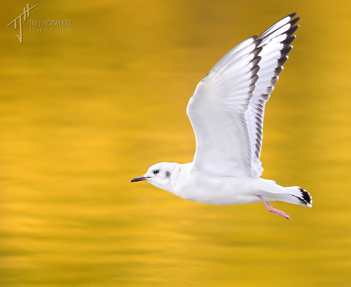 BonapartesGull-inflight1