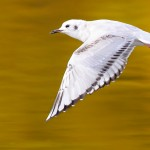 BonapartesGull-inflight2
