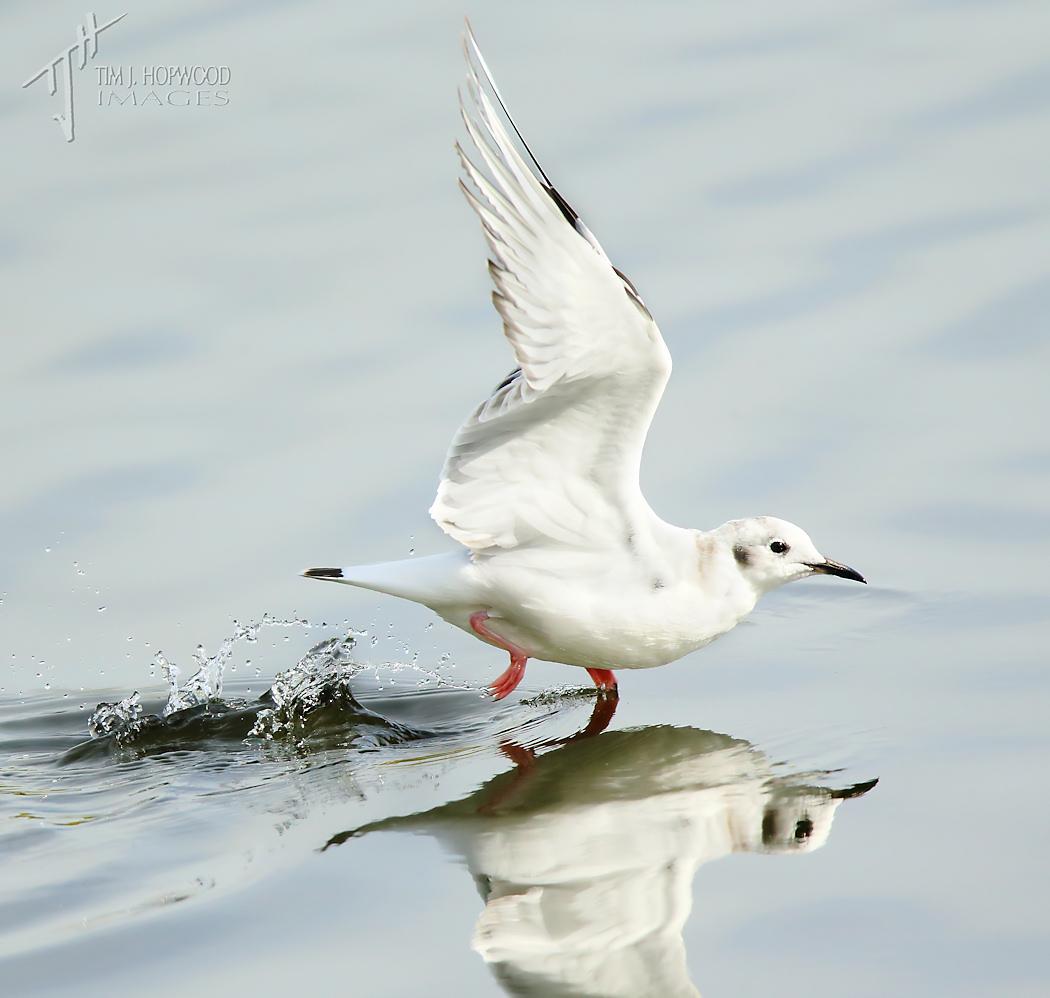 BonapartesGull-takingoff1