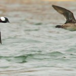 Bufflehead2-m&f