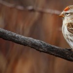 Common Redpoll1