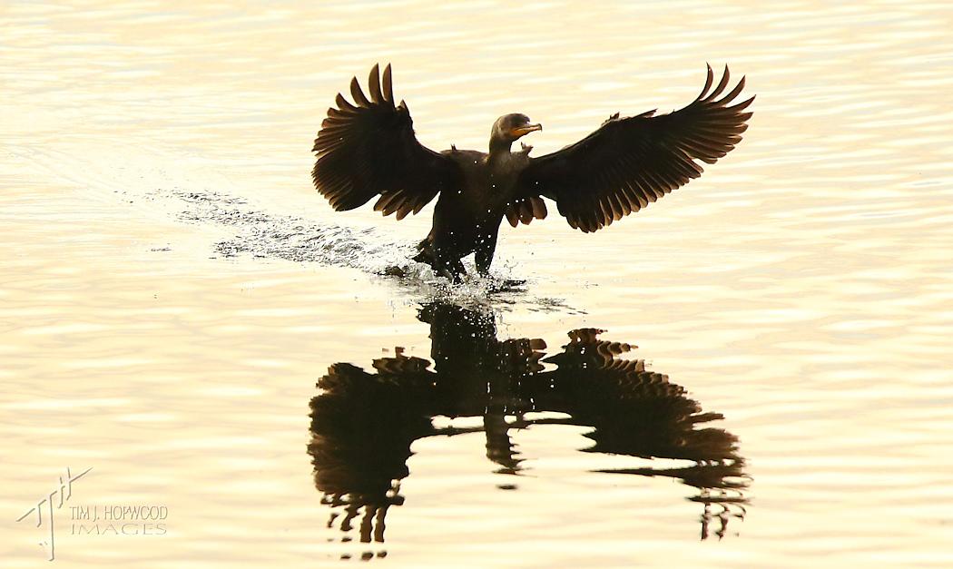 D-C Cormorant landing