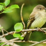Flycatcher - IMG_5765