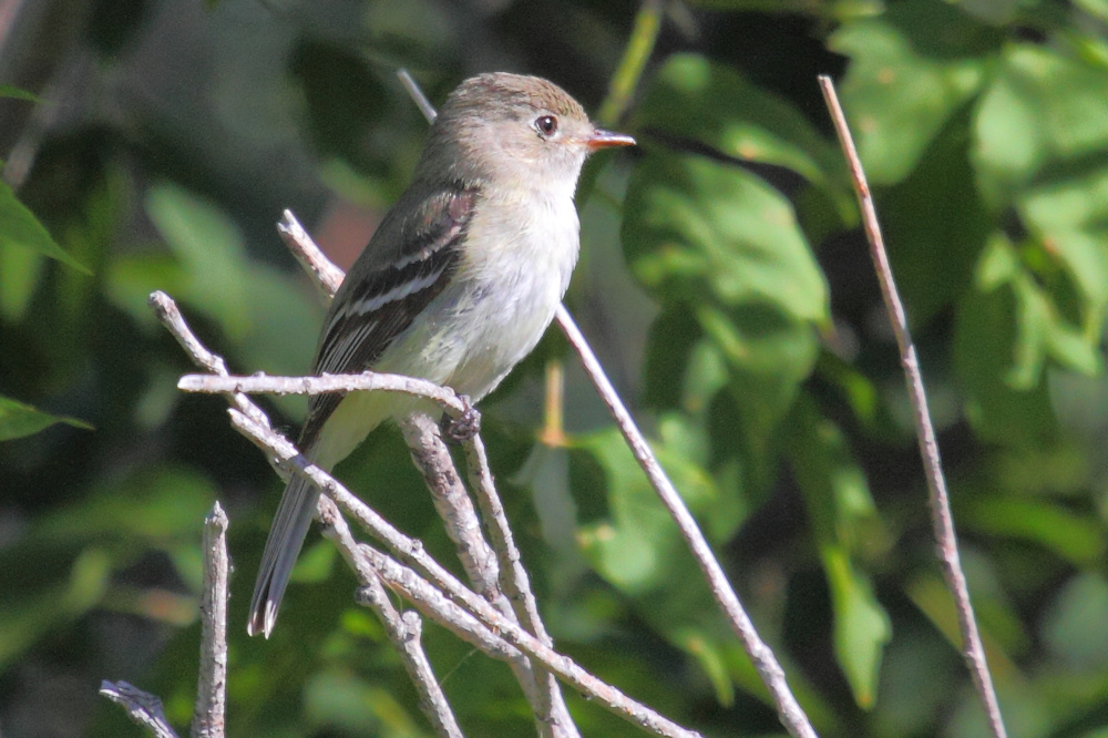 Flycatcher1