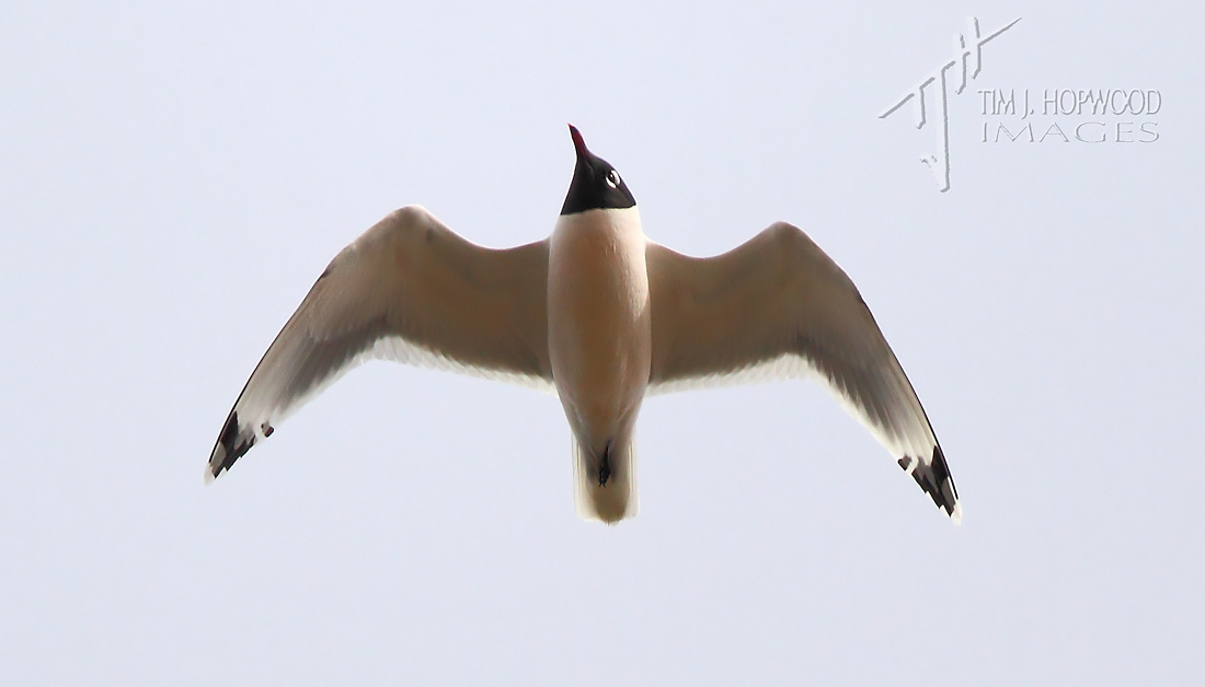Franklin'sGull