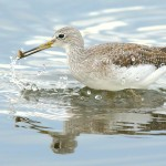 Gr_Yellowlegs2 with fish