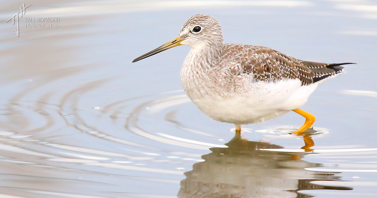 Gr_Yellowlegs2