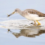 Gr_Yellowlegs3 with fish