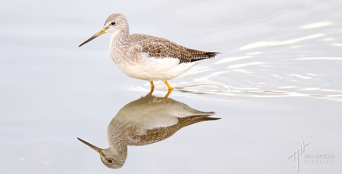Gr_Yellowlegs3