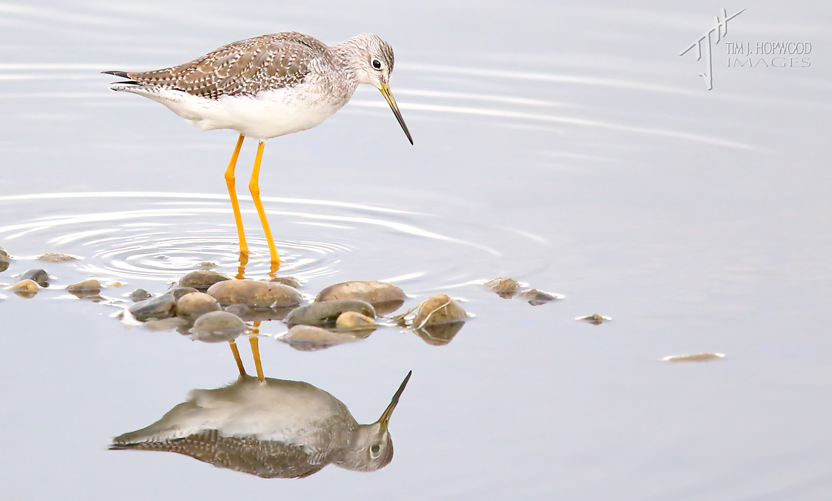 Gr_Yellowlegs4