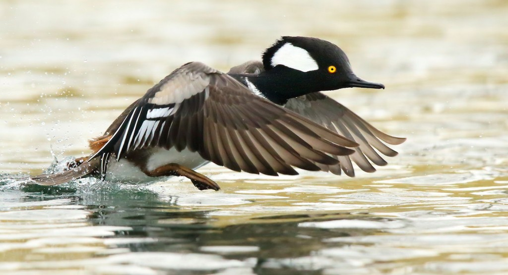 Hooded_Merganser_take-off-THopwood