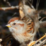IMG_2157rs-ATSparrow
