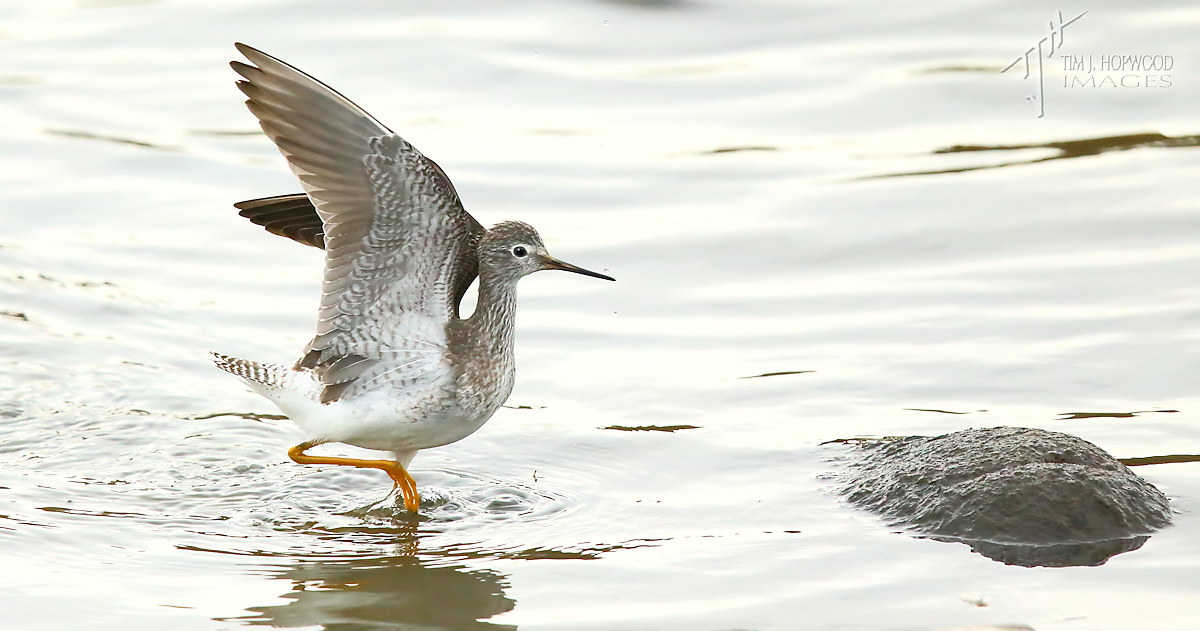 LesserYellowlegs1