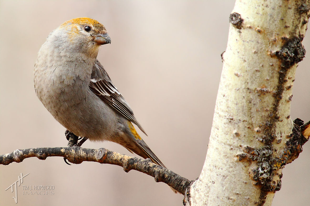 Pine Grosbeak2-fb