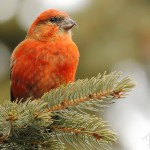 RedCrossbill-male