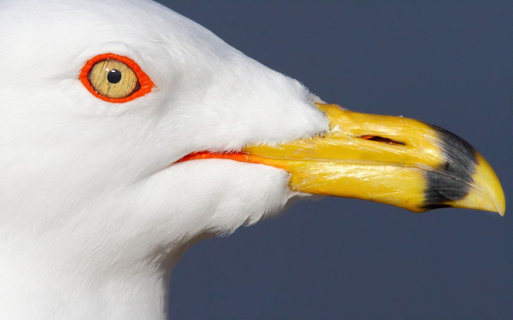 Ring-billed_Gull-portrait-THopwood