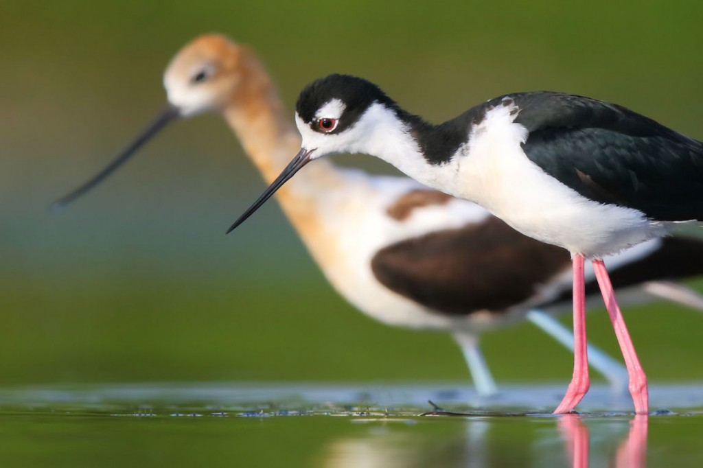 Stilt_and_Avocet-THopwood