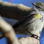 Yellow-Rumped Warbler (Myrtle) - female