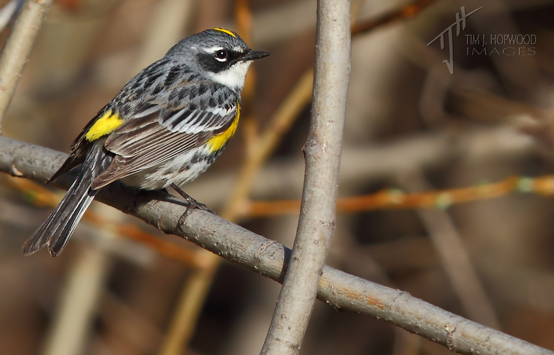 Yellow-rumped Warbler1