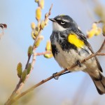 Yellow-rumped Warbler2